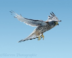 Kestrel in flight