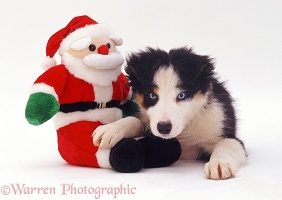 Border Collie pup with Santa toy