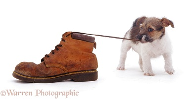Jack Russell pup pulling a shoelace
