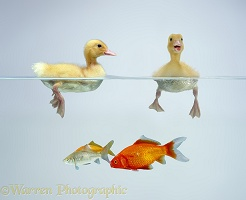 Ducklings and goldfish