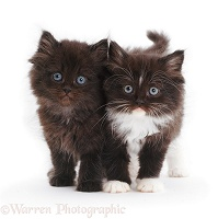 Two cute fluffy kittens