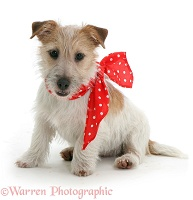 Jack Russell with red bow on