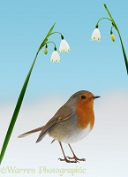 Robin and Spring Snowdrops