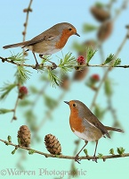 Robins on larch