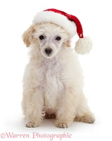 Poodle with Father Christmas hat