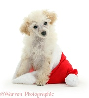 Poodle sitting in a Father Christmas hat