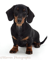 Black-and-tan Dachshund pup sitting