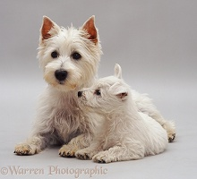 Westie mother and pup