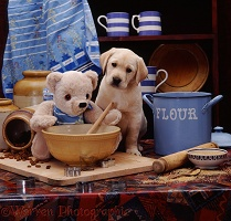 Yellow Labrador pup with cream teddy