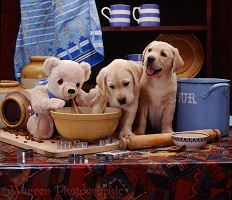 Yellow Labrador pups with cream teddy