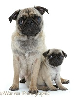 Pug mother and pup