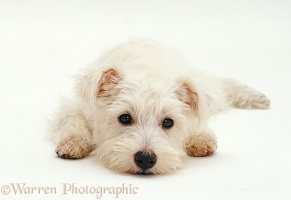 Westie pup with chin on the ground