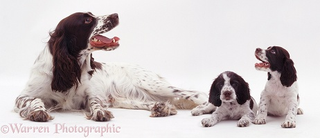 Spaniel and pups