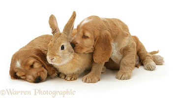 Golden Cocker Spaniel puppies and rabbit