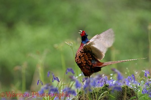 Pheasant crowing