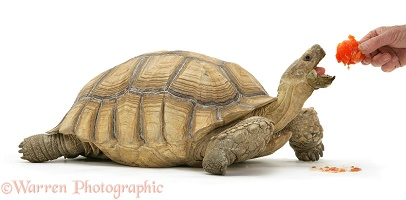 African Giant Tortoise