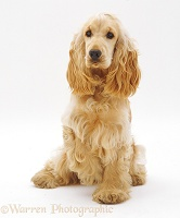Golden Cocker Spaniel bitch