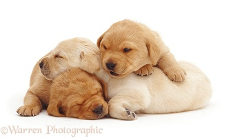 Sleepy Yellow Labrador Retriever puppies, 3 weeks old