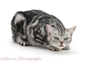 Silver tabby cat coughing