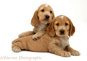 Two Golden Cocker Spaniel puppies