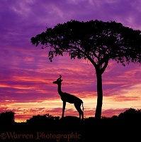 Gerenuk at sunset