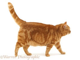 Ginger cat walking