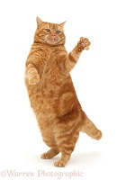 Ginger cat dancing