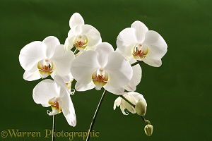 White hybrid orchid