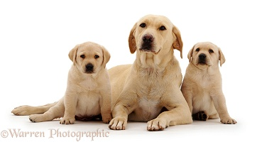 Yellow Labrador with her two puppies