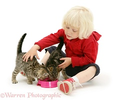 Little girl feeding tabby kittens