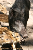 Wild Boar mother and piglets