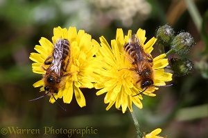 Hairy-legged Mining Bees on flowers