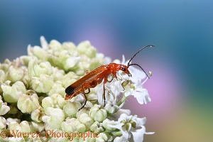 Black-tipped Soldier Beetle on a flower