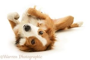 Border Collie lying on her back