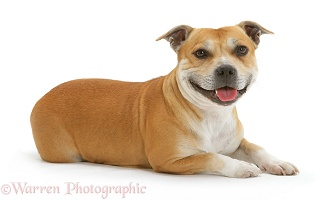 Staffordshire Bull Terrier lying head up