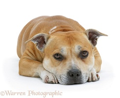 Staffordshire Bull Terrier lying chin on floor