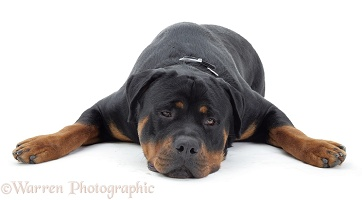 Rottweiler lying chin on floor