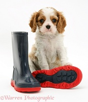 King Charles pup and child's boots