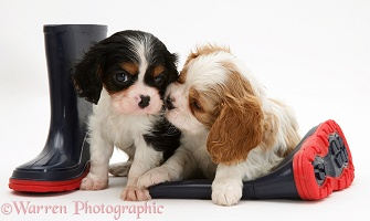 King Charles pups and child's boots