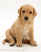 Yellow Labrador pup sitting