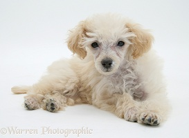 Miniature Apricot Poodle pup, lying head up