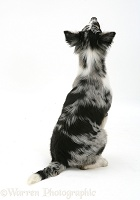 Collie-cross sitting, back view
