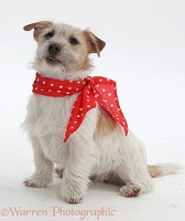 Jack Russell in a red neckerchief