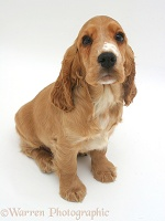 Golden Cocker Spaniel pup