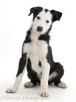White-faced black-and-white Border Collie pup