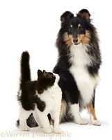 Black-and-white kitten and Sheltie