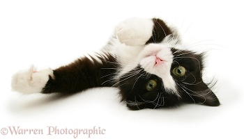 Black-and-white cat