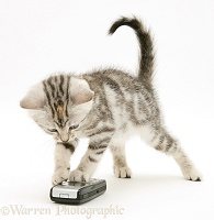 Silver tabby kitten with a mobile phone
