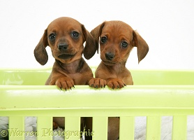 Red miniature Dachshund pups, paws over
