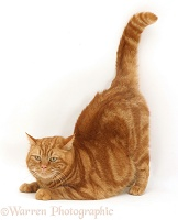 Ginger cat crouching tail up